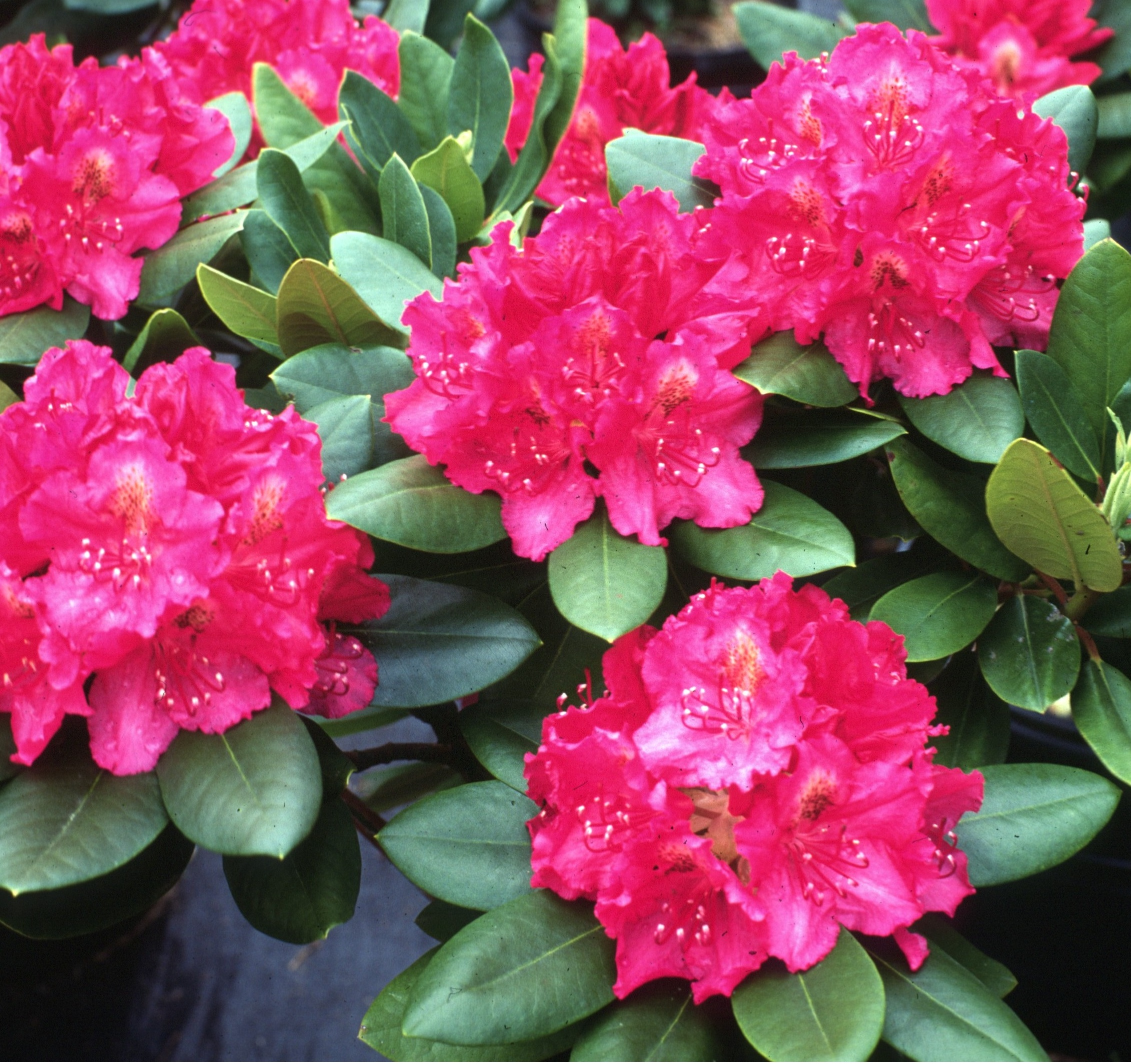 Pearce S American Beauty Rhododendron Monrovia Pearce S
