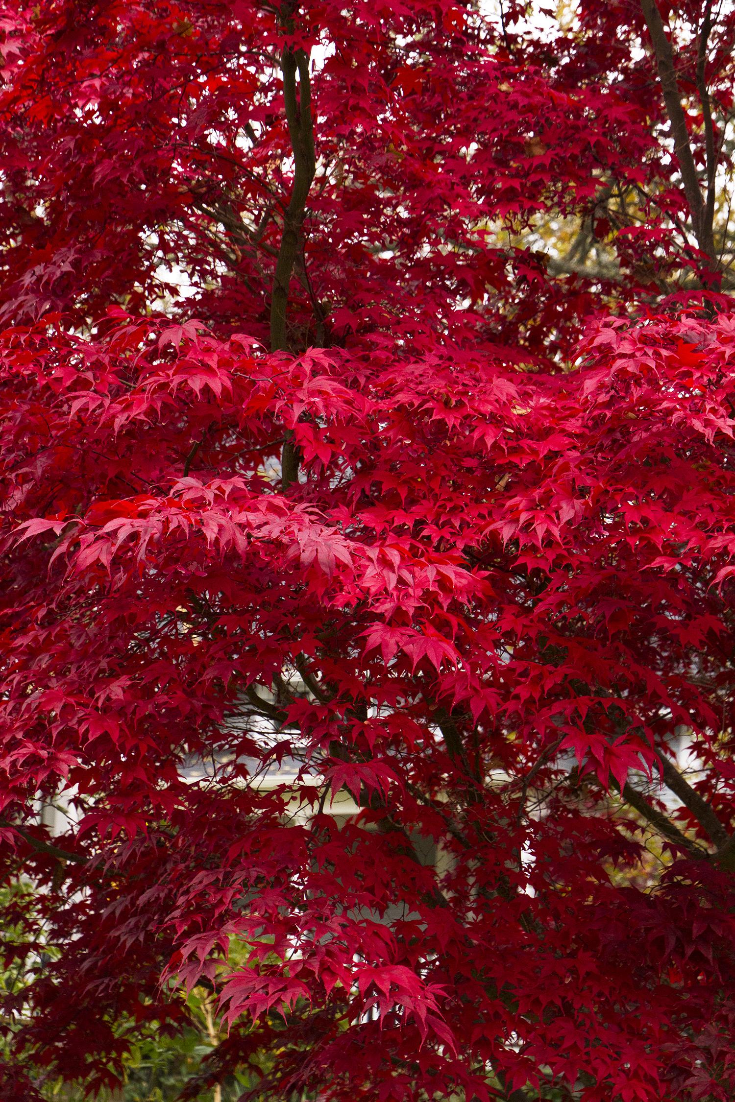Bloodgood Japanese Maple Monrovia Bloodgood Japanese Maple