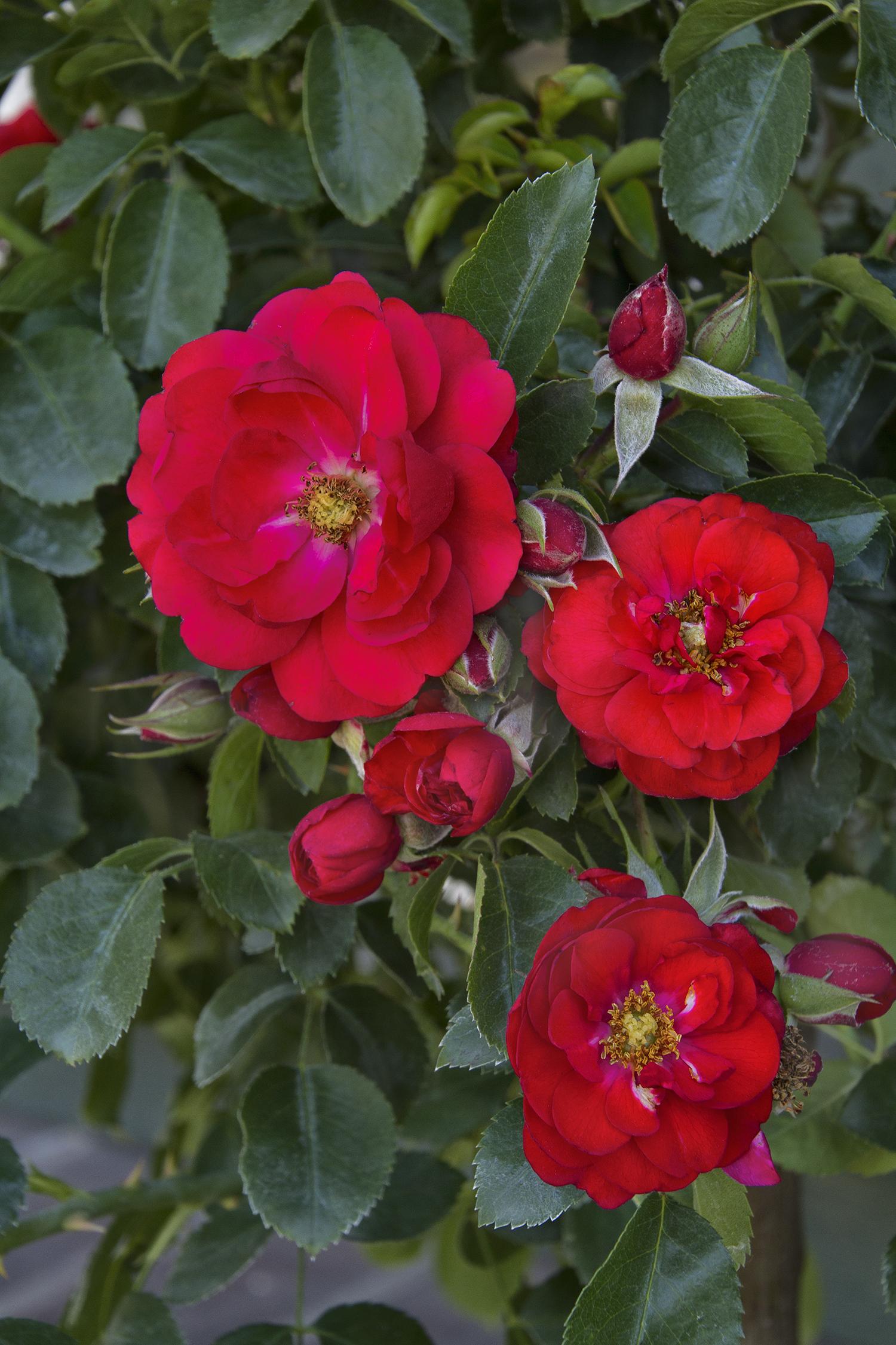 Flower Carpet Scarlet Groundcover Rose Monrovia Flower Carpet