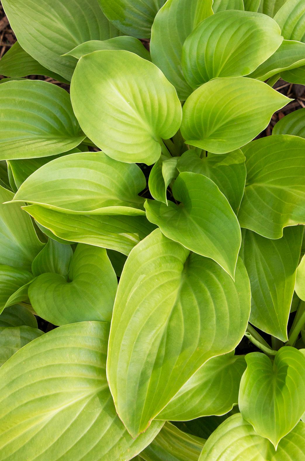 Aphrodite Plantain Lily Monrovia Aphrodite Plantain Lily