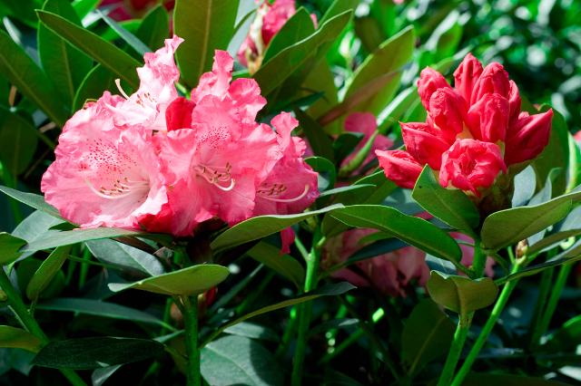 Solidarity Rhododendron Monrovia Solidarity Rhododendron