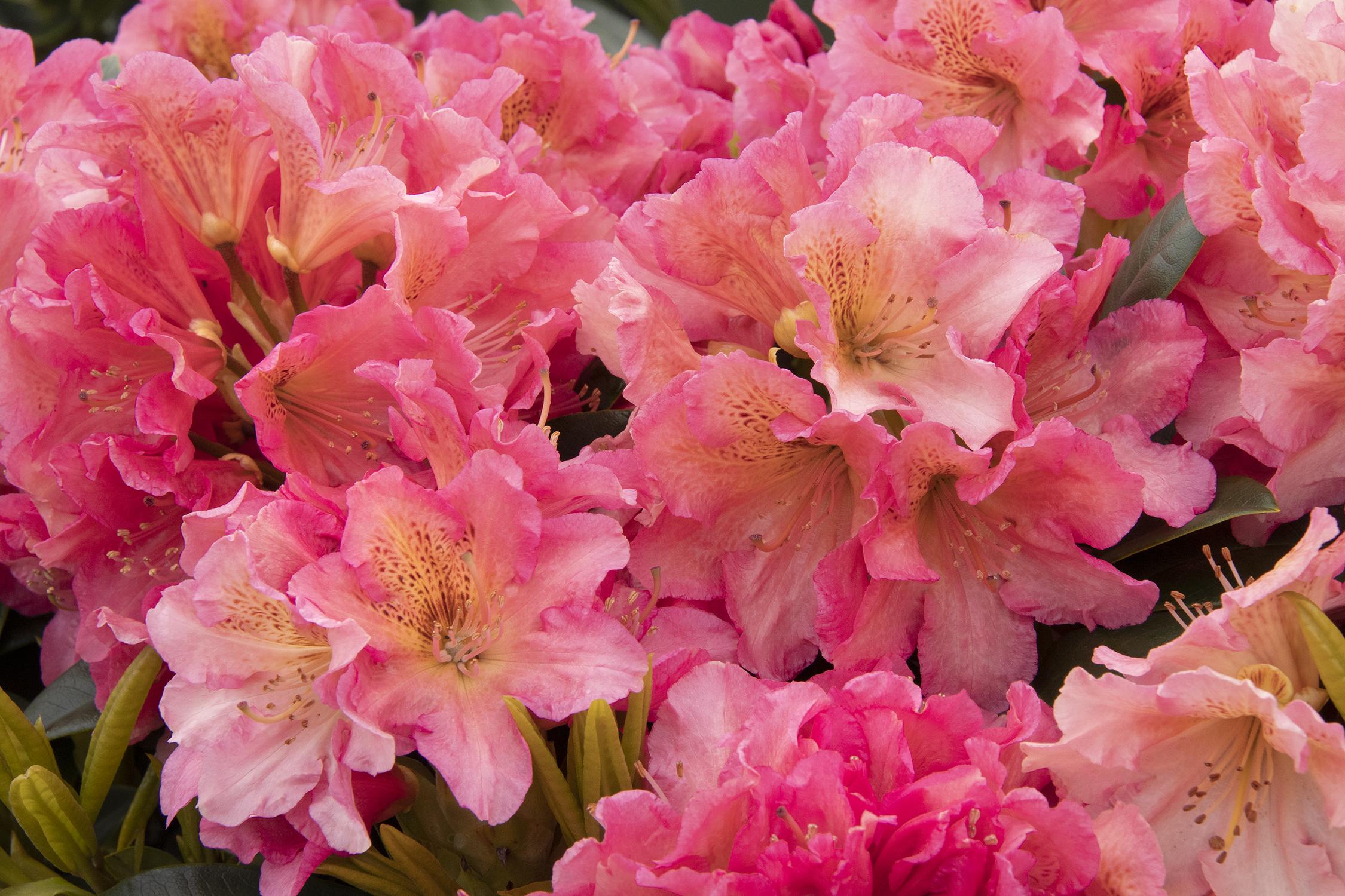 Miyama Dolcemente Rhododendron Monrovia Miyama Dolcemente