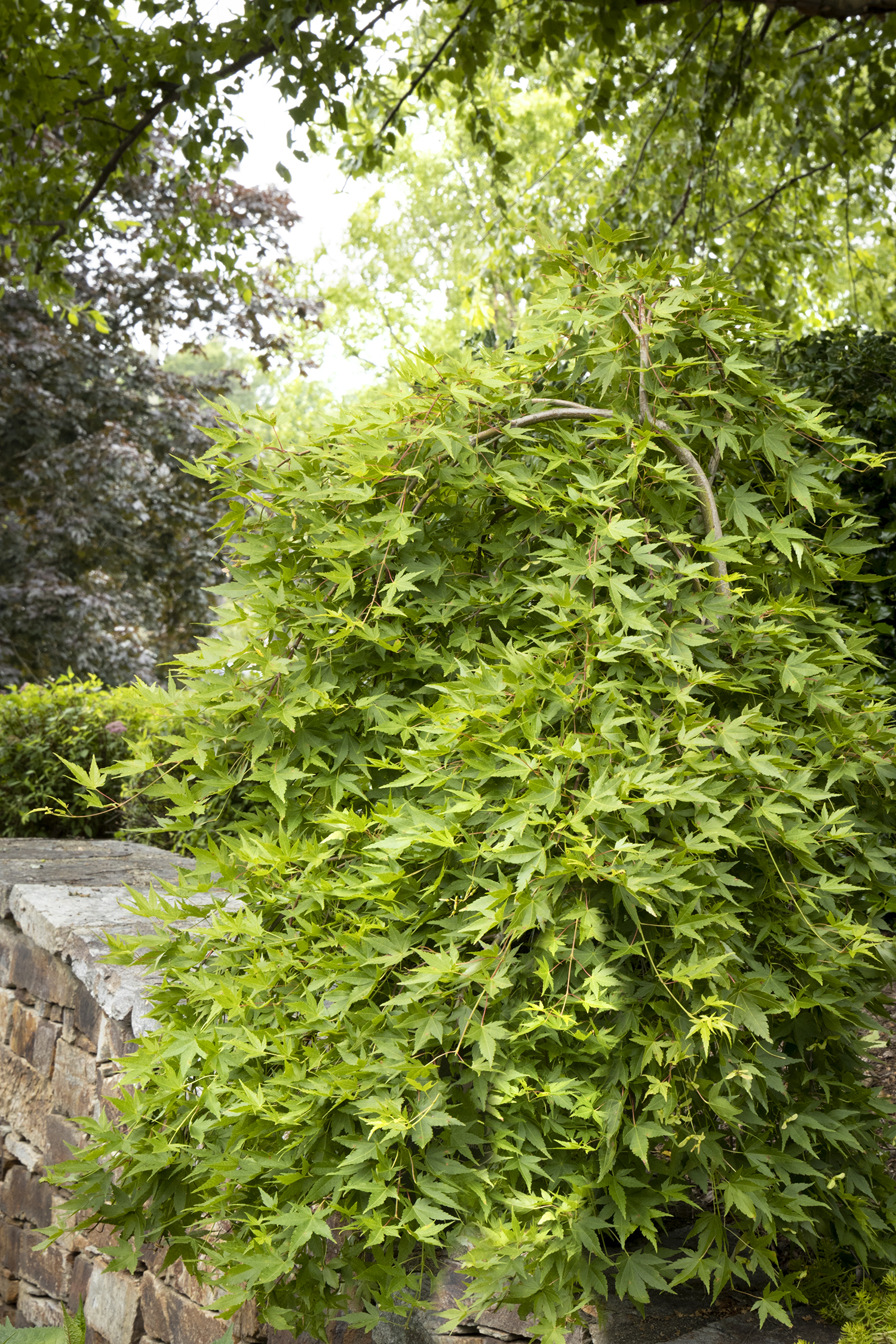 Ryusen Weeping Japanese Maple Monrovia Ryusen Weeping Japanese