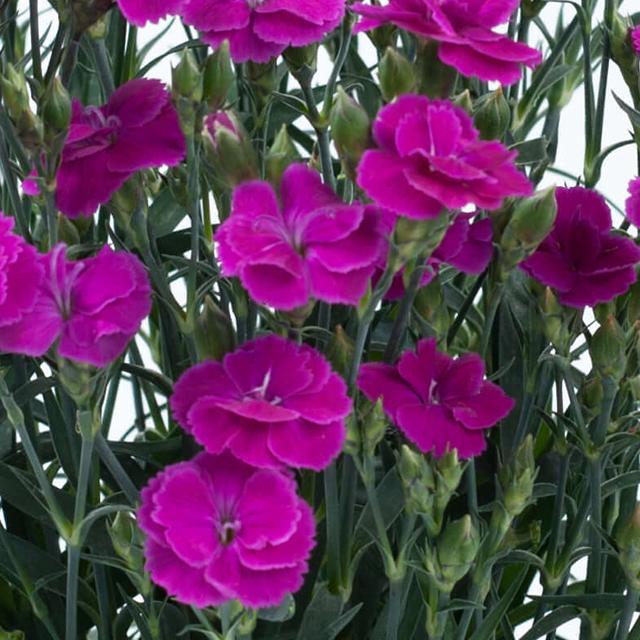 Delilah Purple Dianthus Monrovia Delilah Purple Dianthus