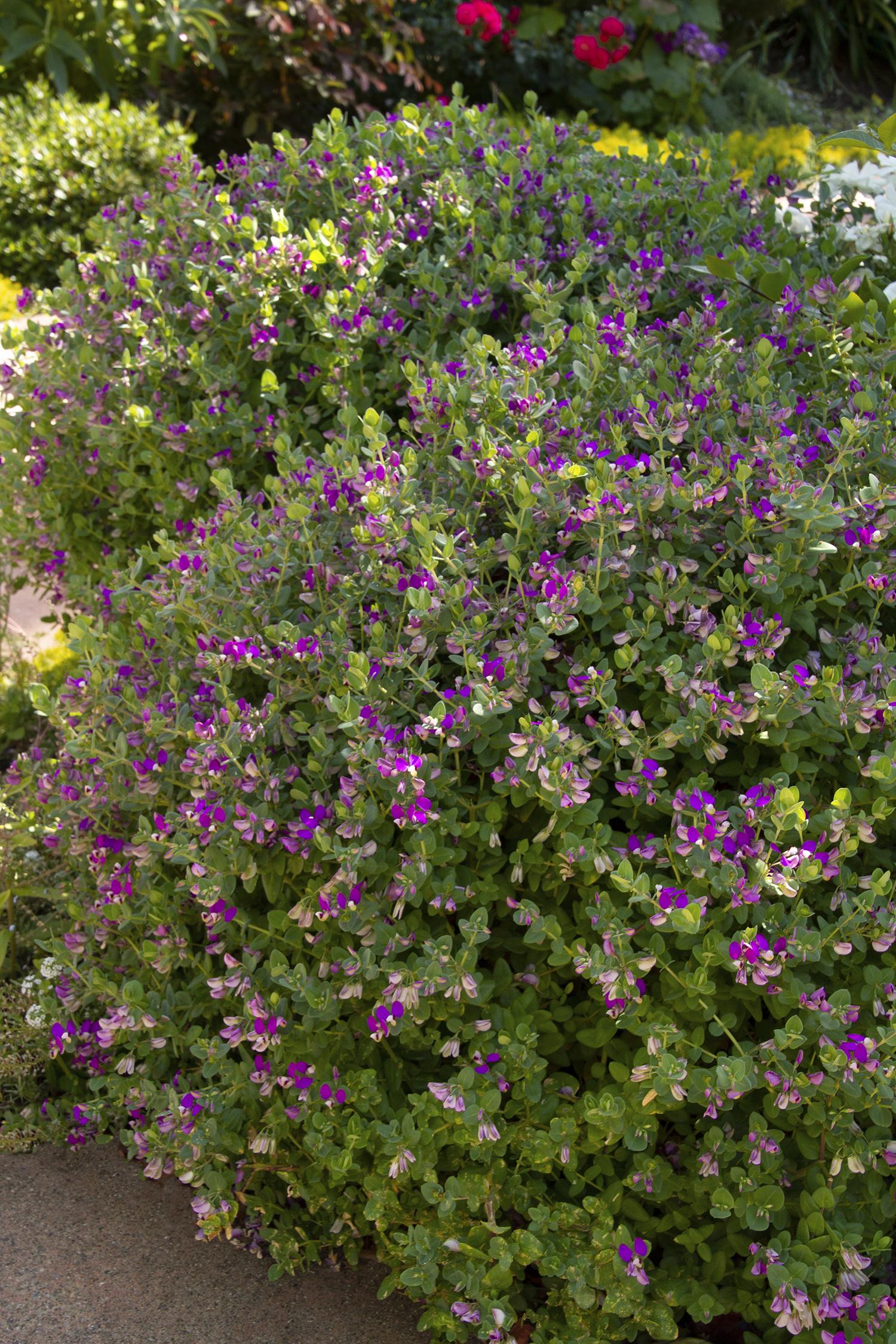 Petite Butterflies Sweet Pea Shrub Monrovia Petite Butterflies