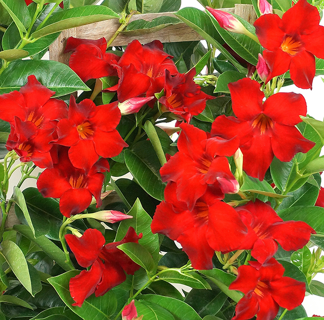 Tropical Breeze Velvet Red Mandevilla Monrovia Tropical
