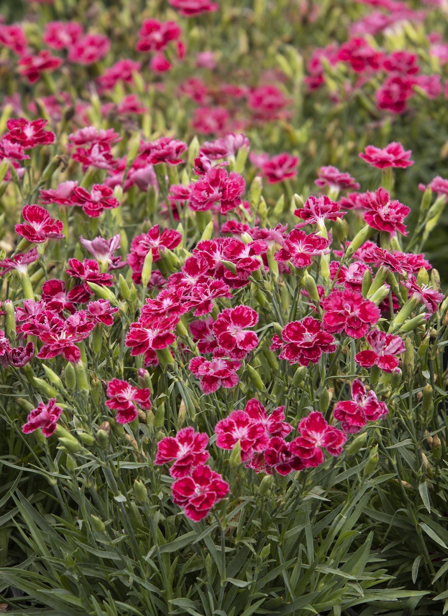 Delilah Magenta Dianthus Monrovia Delilah Magenta Dianthus