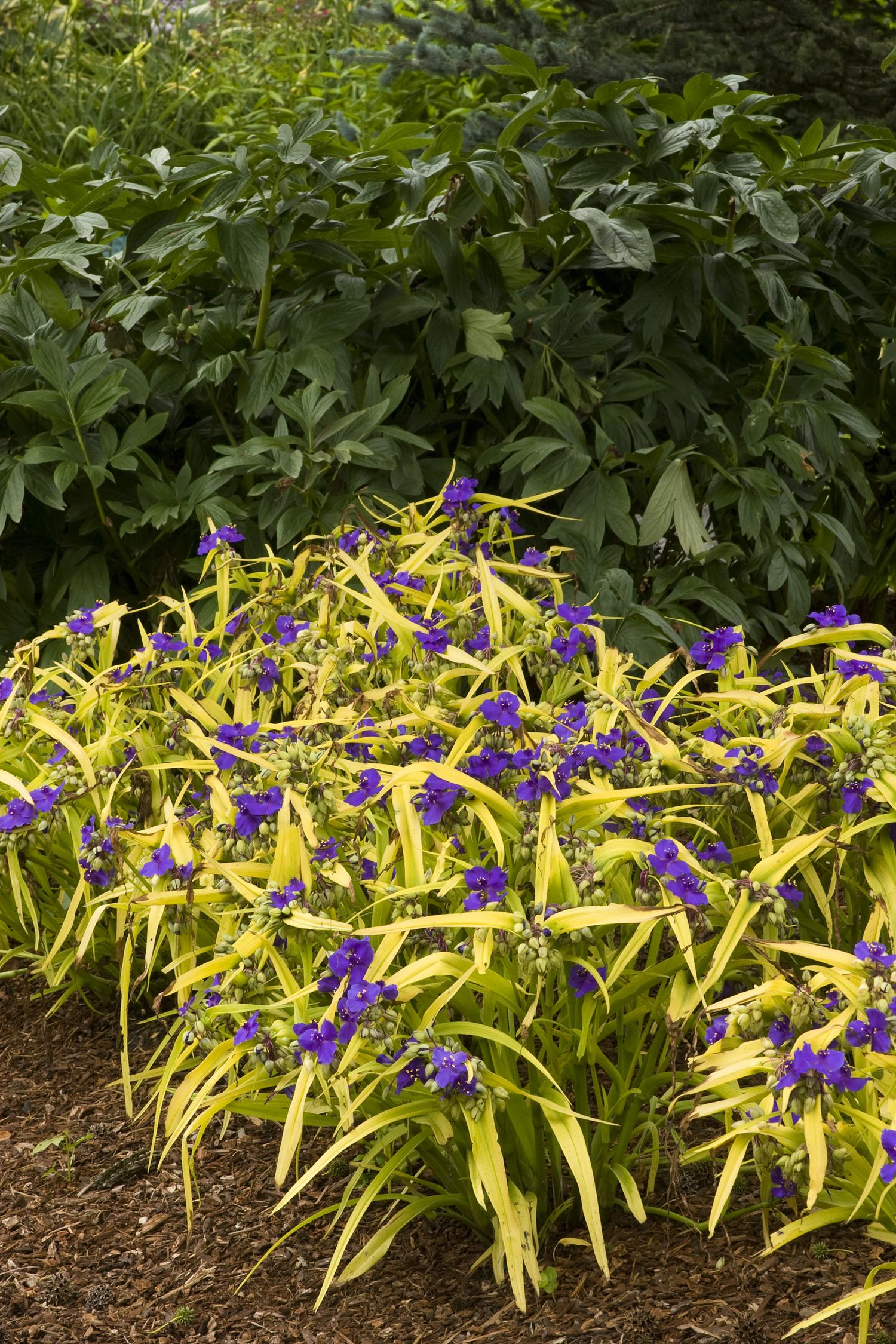 Blue Gold Spiderwort Monrovia Blue Gold Spiderwort