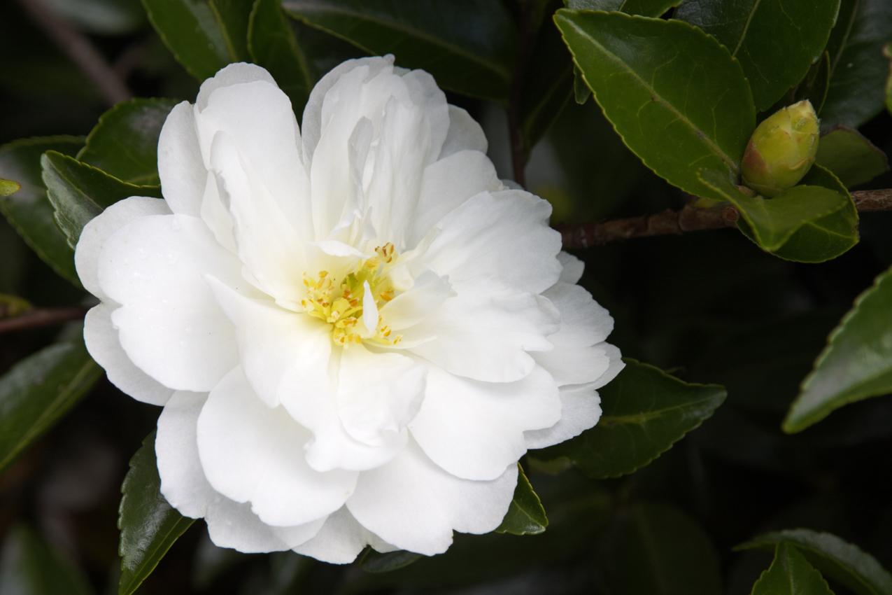 White Doves Camellia Monrovia White Doves Camellia