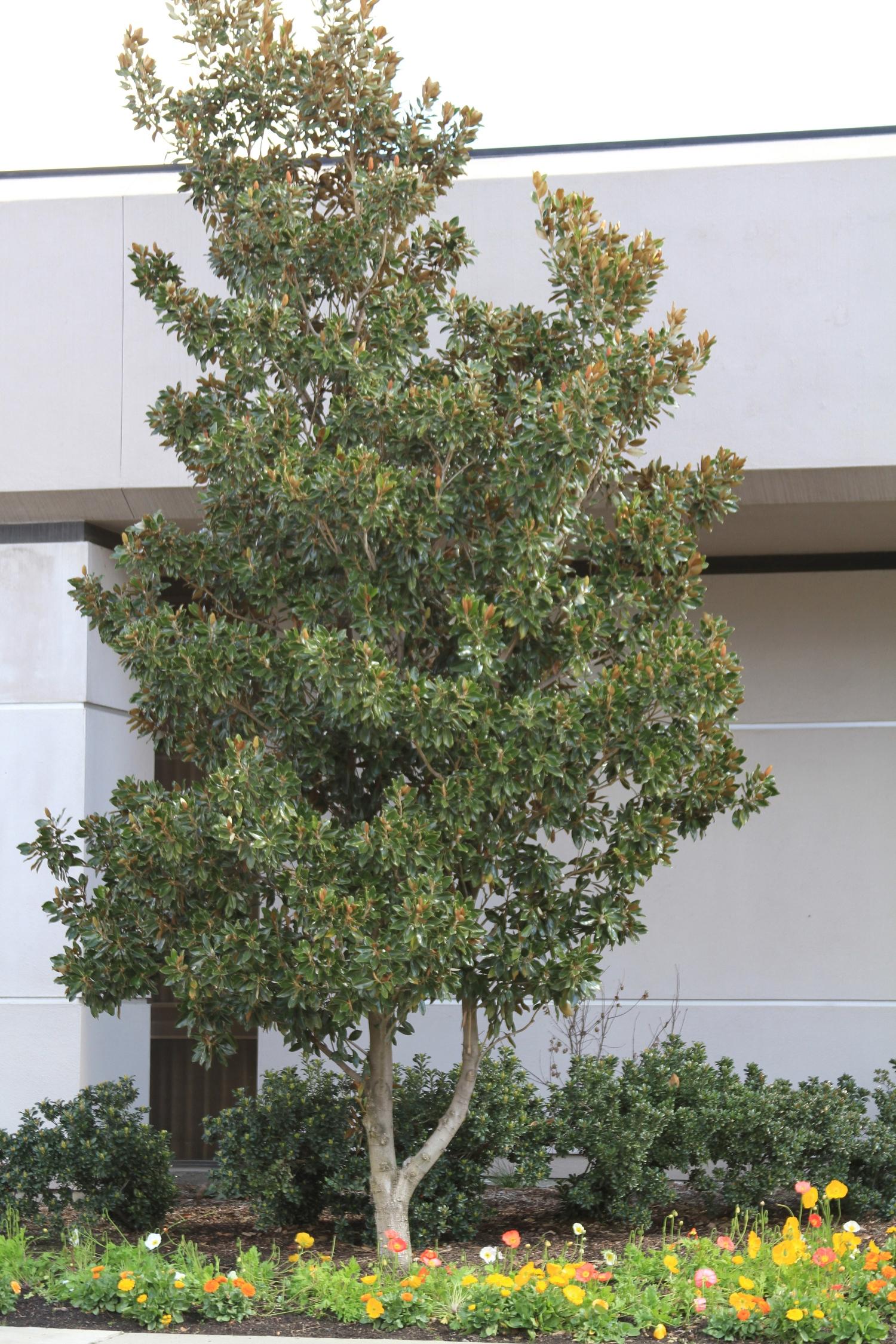 Little Gem Dwarf Southern Magnolia Monrovia Little Gem Dwarf