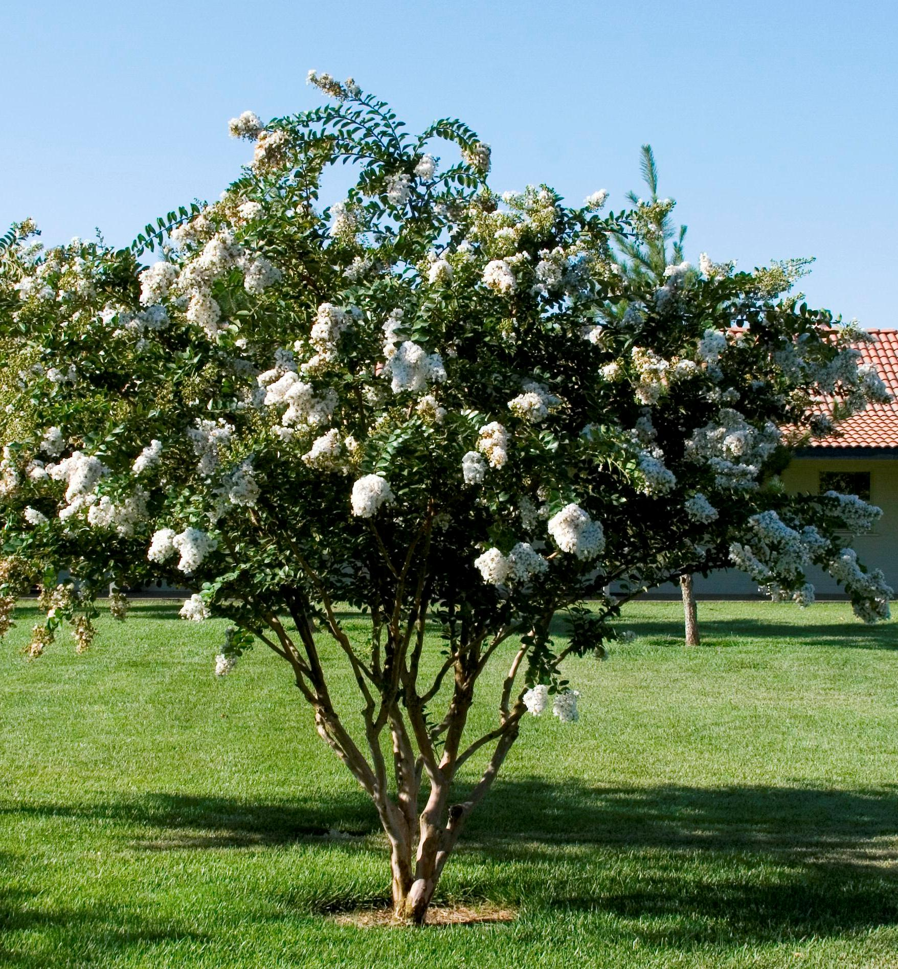 Eucalyptus Dalrympleana Mountain Gum