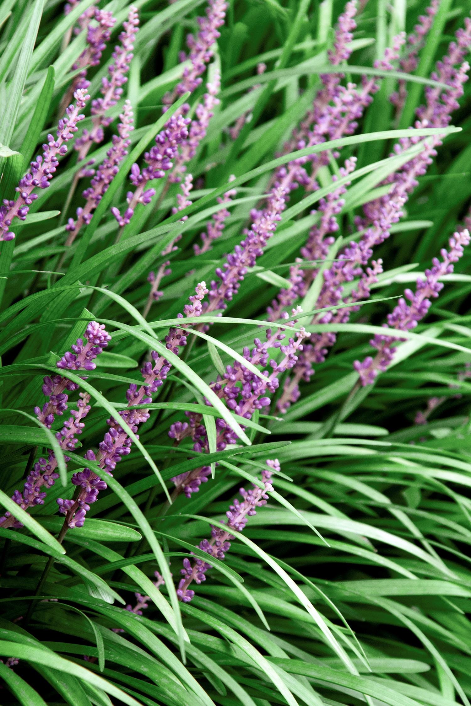 Majestic Lilyturf Monrovia Majestic Lilyturf