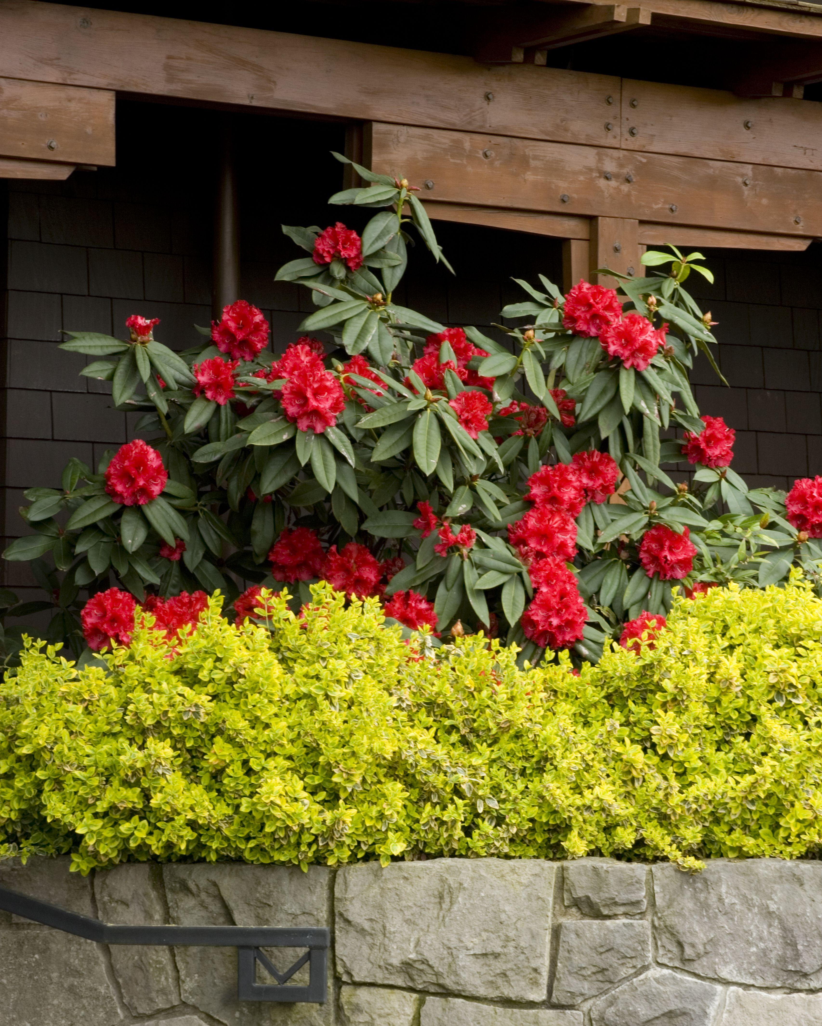 Taurus Rhododendron Monrovia Taurus Rhododendron