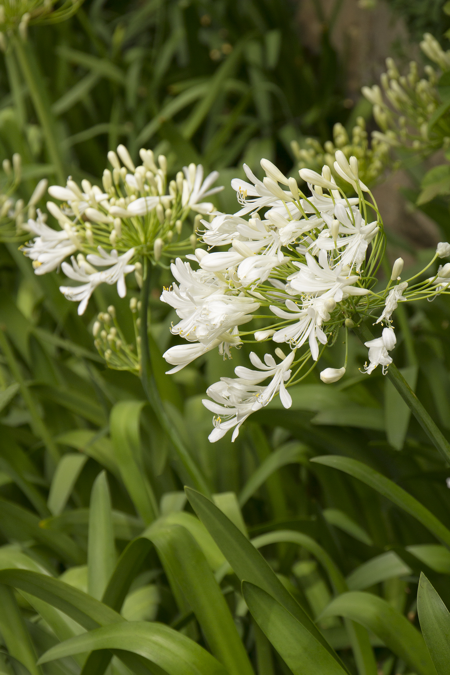 Rancho White Lily Of The Nile Monrovia Rancho White Lily Of