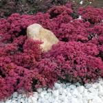 Sunsparkler® Dazzleberry Sedum