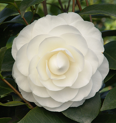 Camellias Monrovia