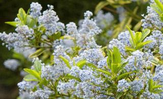 El Dorado California Lilac