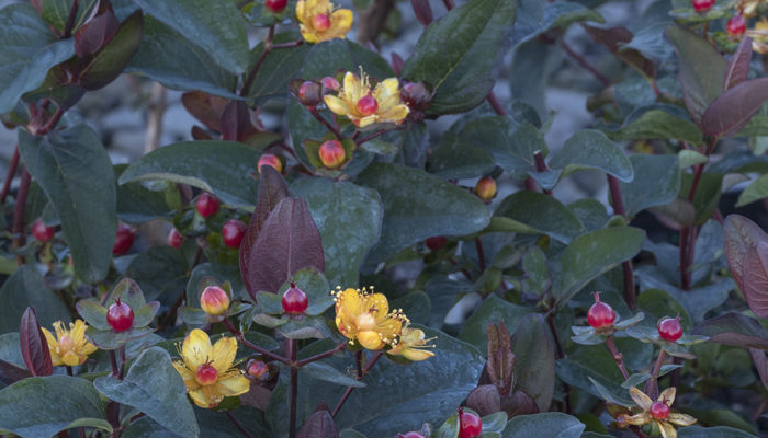 FloralBerry™-Sangria-St-resize