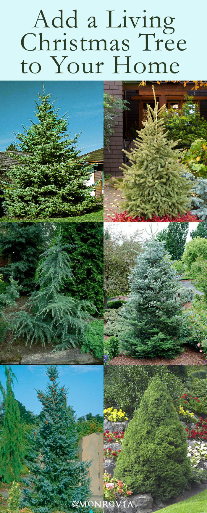 How to Buy and Care for a Living Christmas Tree