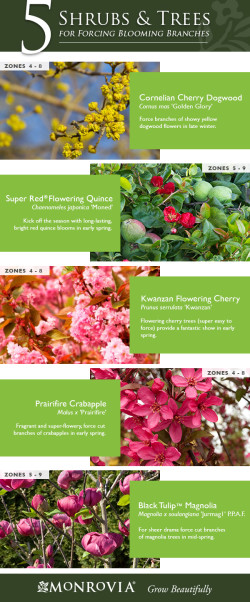 Flowering Shrubs and Trees for Forcing Branches
