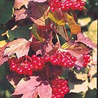 americancranberrycropped