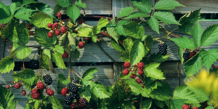 Rubus - Blackberry 'Loch Ness'