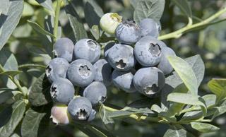Misty Early Season Blueberry