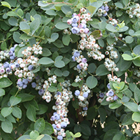 bountiful blue blueberry cropped
