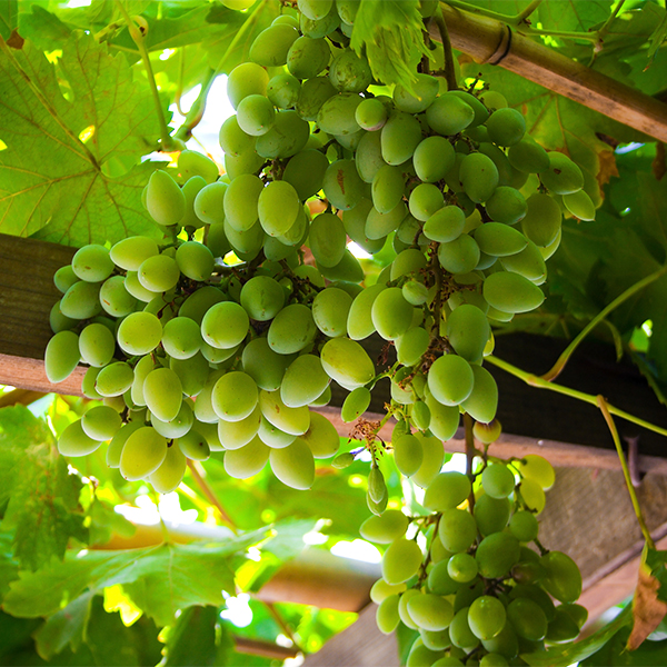 10 Reasons You Should Be Growing Grapes In Your Backyard Monrovia