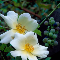 Rose and grape, climbing plants growing together