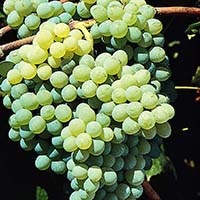 himrod grape cropped