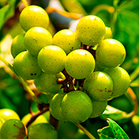 muscadine cropped