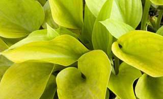 Hottsy Tottsy Plantain Lily
