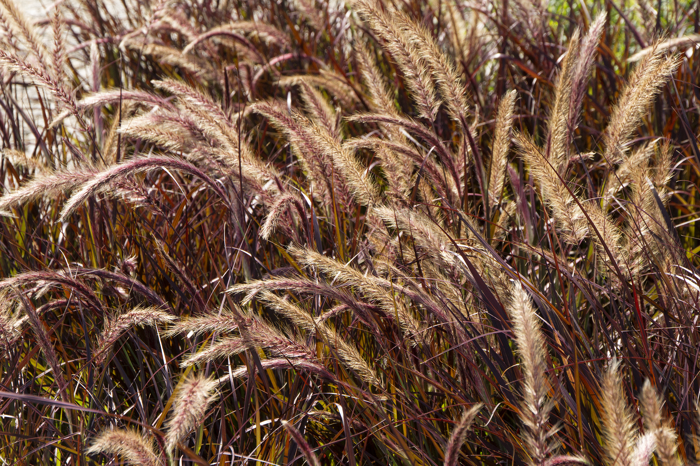 Purple Fountain Grass Monrovia Purple Fountain Grass