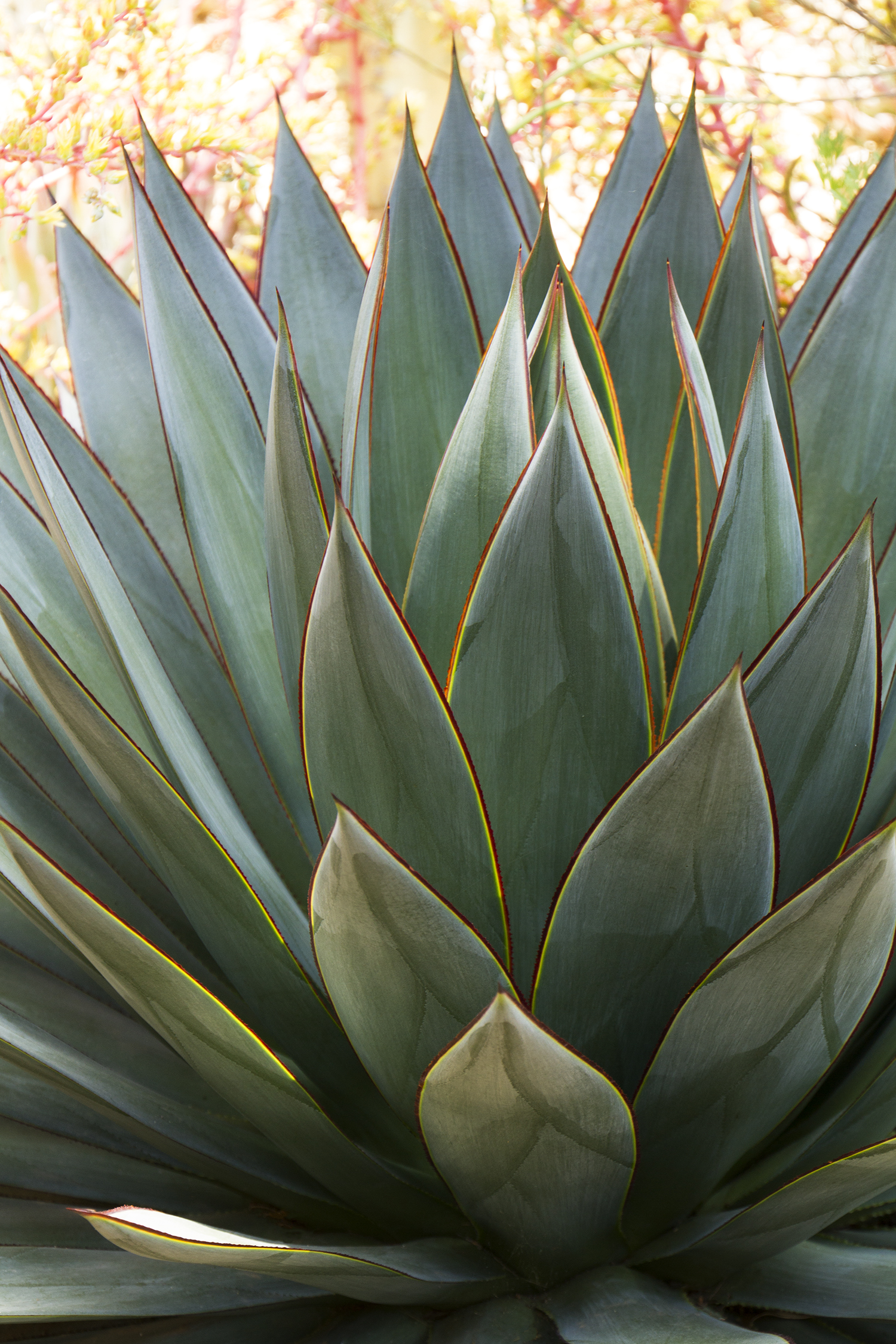 Blue Glow Agave Monrovia Blue Glow Agave