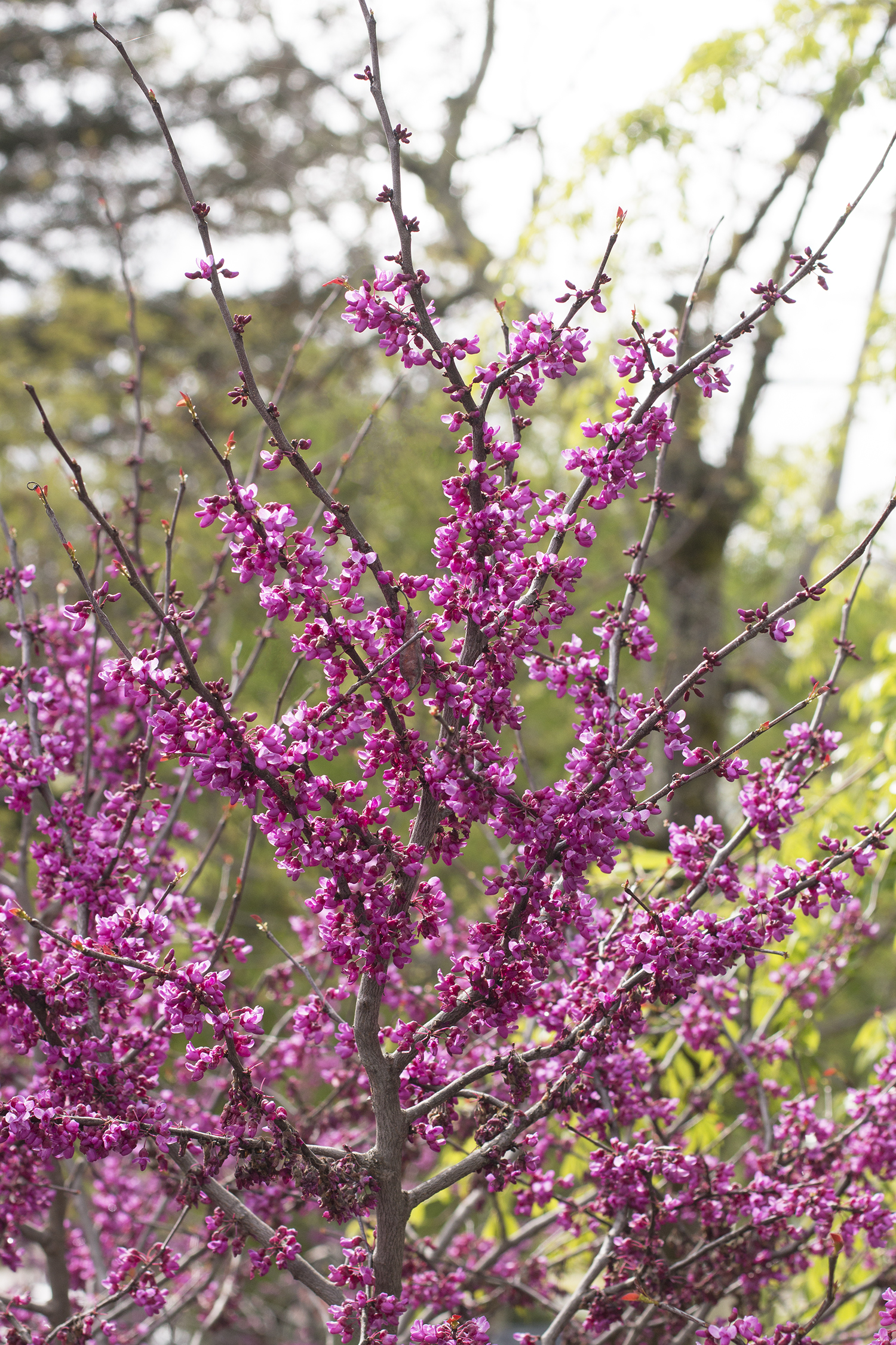 Forest Pansy Redbud Monrovia Forest Pansy Redbud