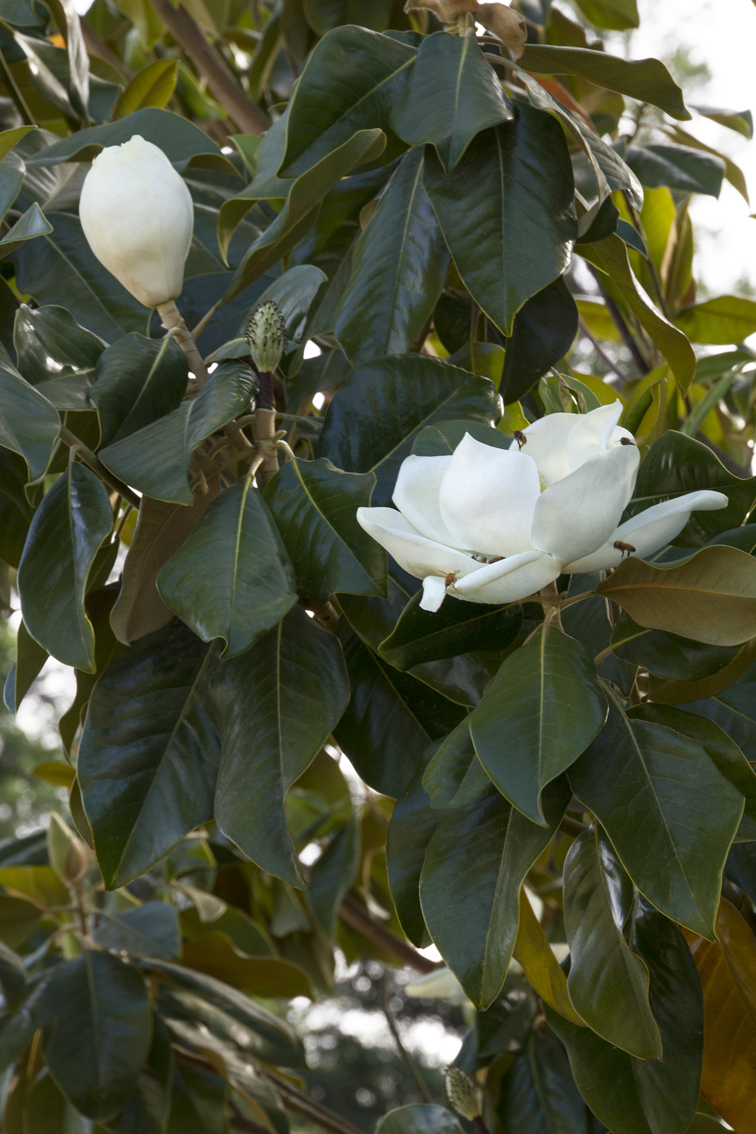 Majestic Beauty Southern Magnolia Monrovia Majestic Beauty
