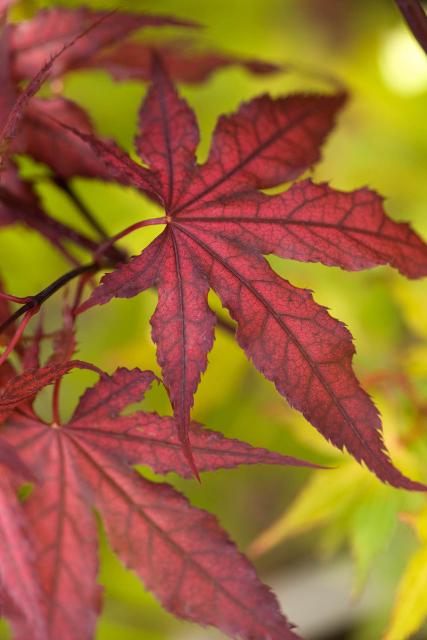 Purple Ghost Japanese Maple Monrovia Purple Ghost Japanese Maple