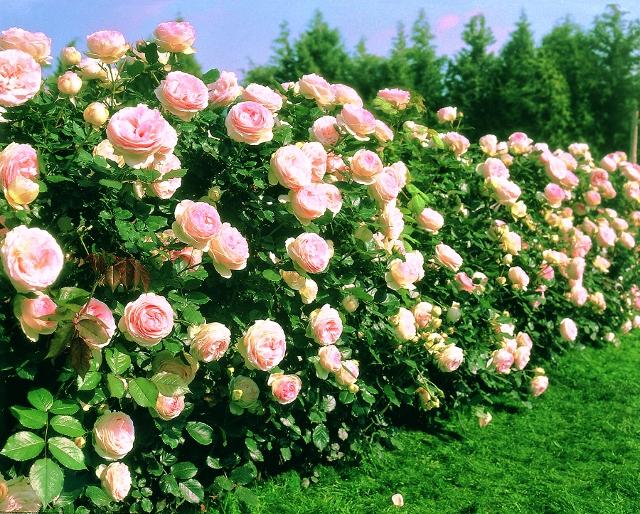 Eden Climber Rose Monrovia Eden Climber Rose