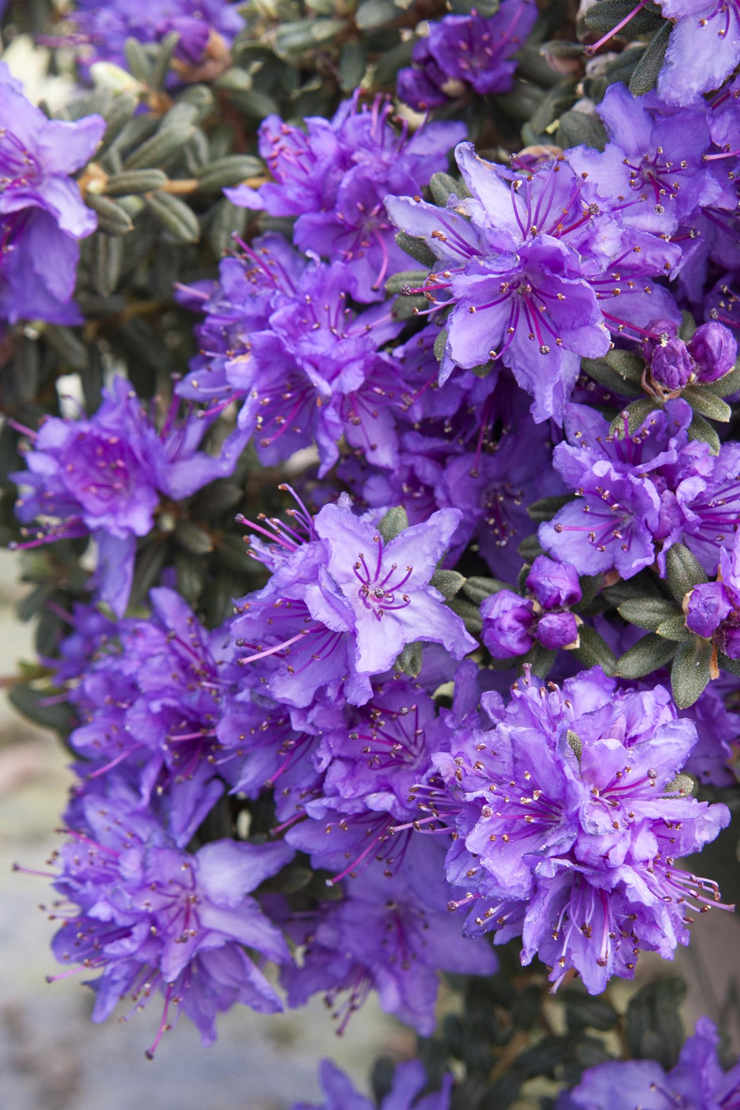 Dwarf Purple Rhododendron Monrovia Dwarf Purple Rhododendron