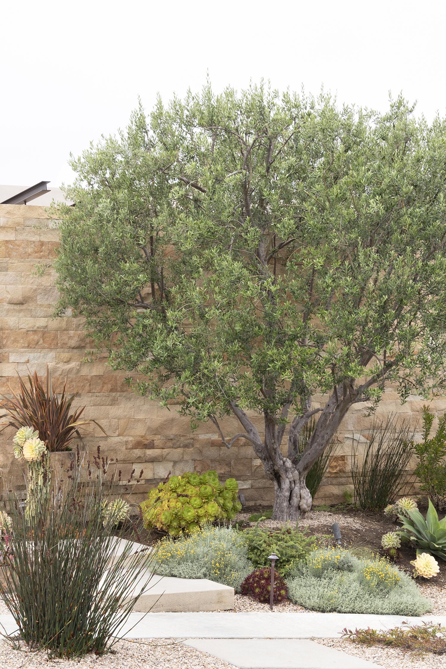 Majestic Beauty Fruitless Olive Monrovia Majestic Beauty