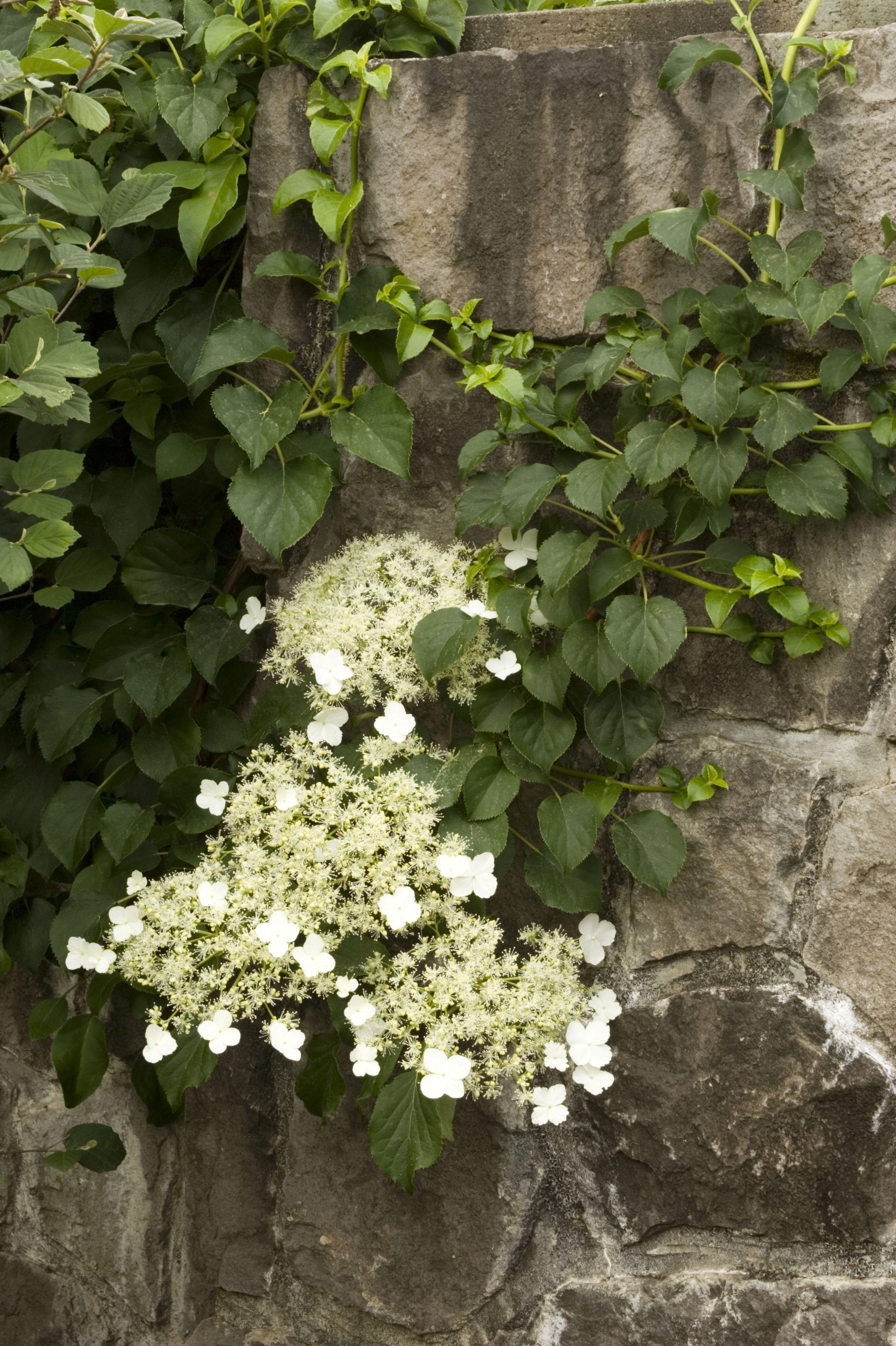 Climbing Hydrangea Monrovia Climbing Hydrangea