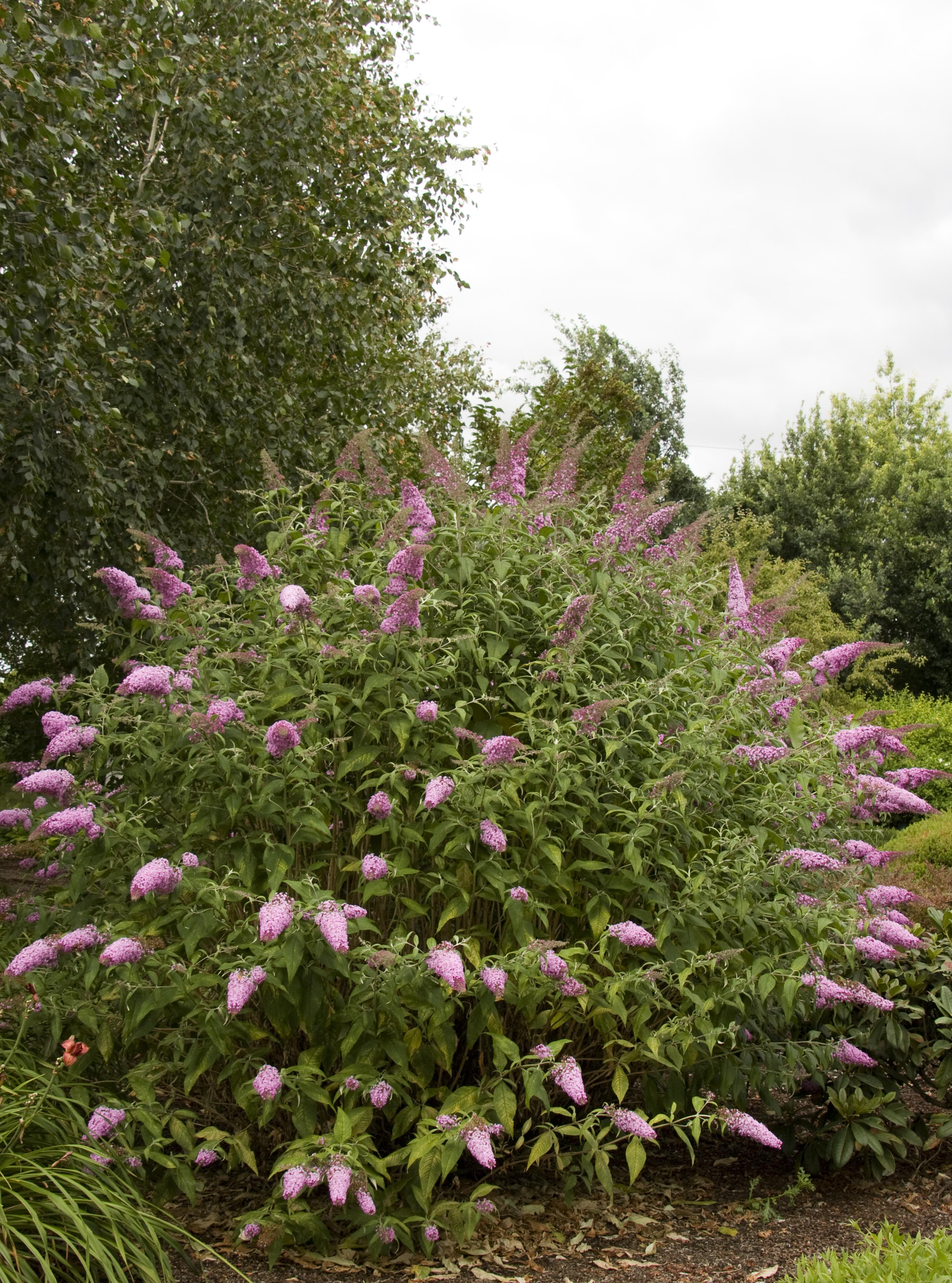 3 pezzi estate lillà rosa fioritura Buddleja davidii Pink Delight