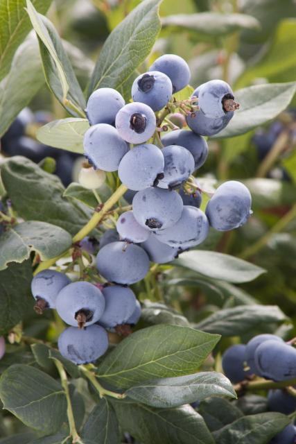 Sunshine Blue Blueberry - Monrovia - Sunshine Blue Blueberry