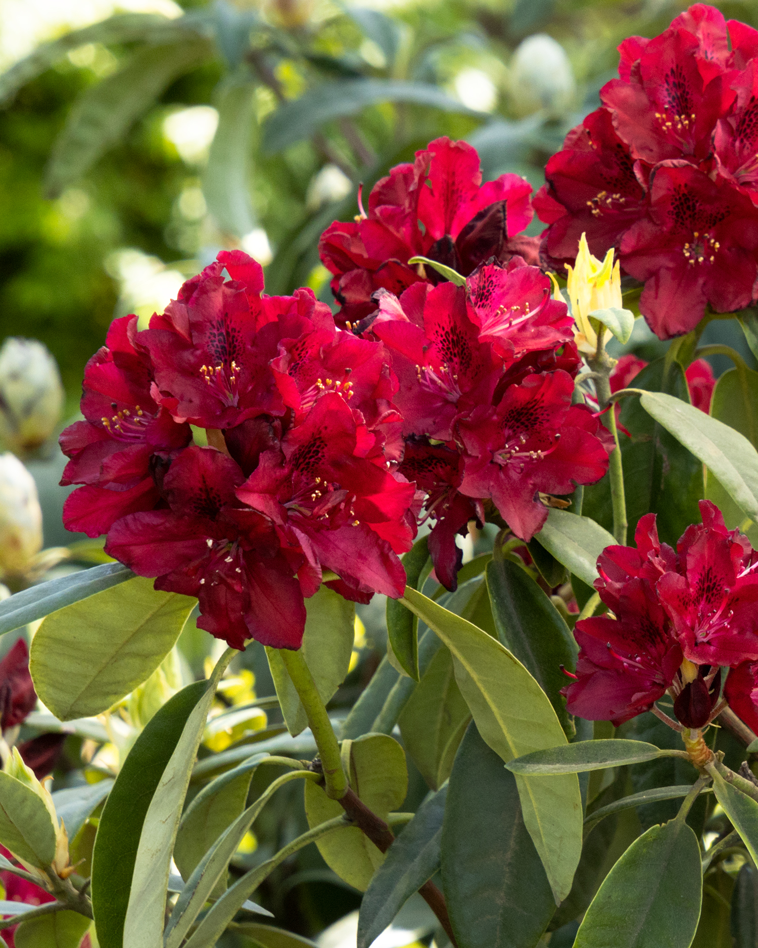 Henry S Red Rhododendron Monrovia Henry S Red Rhododendron