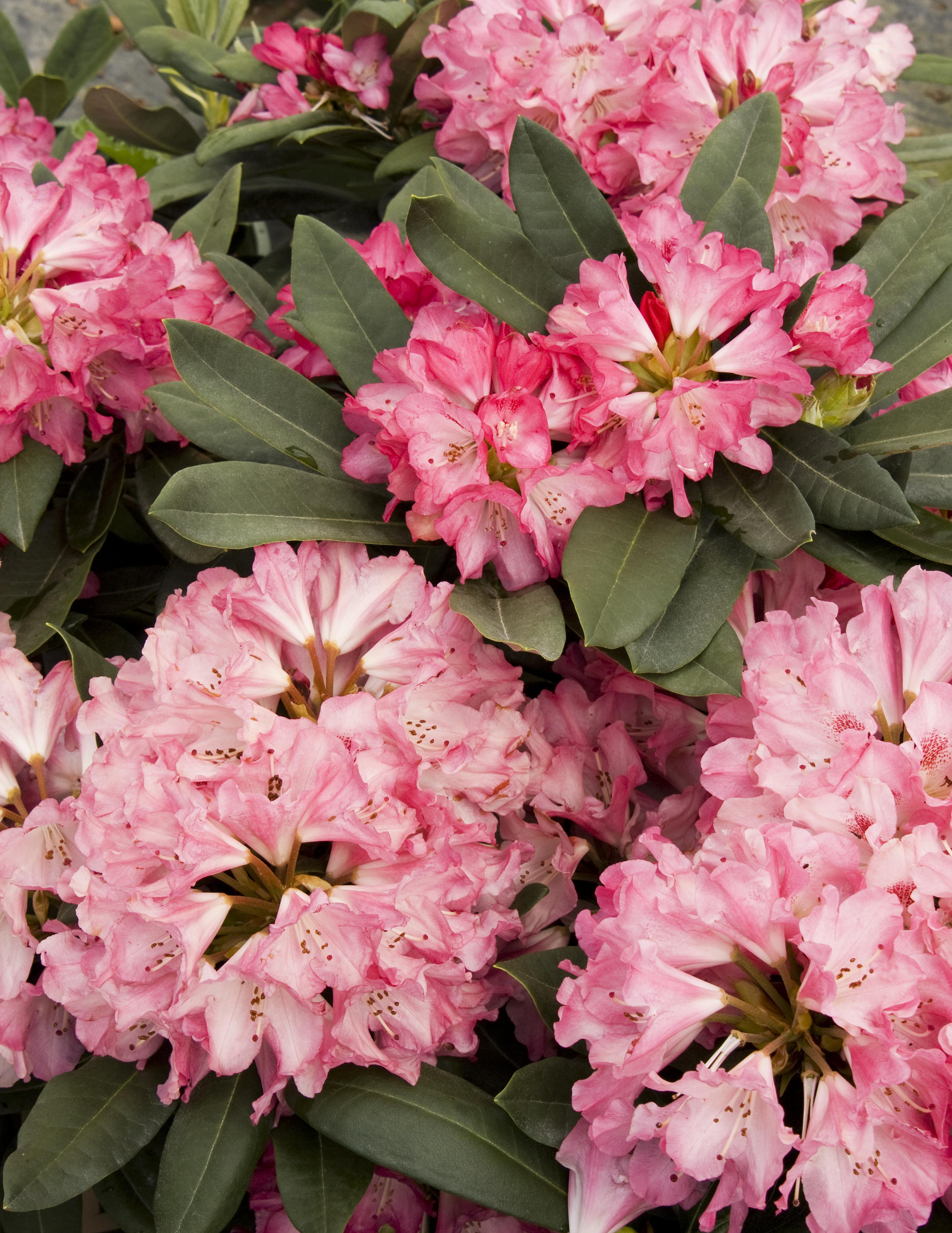 Sneezy Rhododendron Monrovia Sneezy Rhododendron