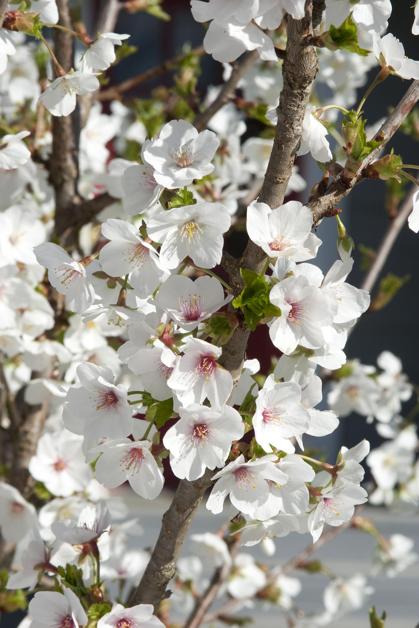 Mount Fuji Japanese Flowering Cherry Monrovia Mount Fuji