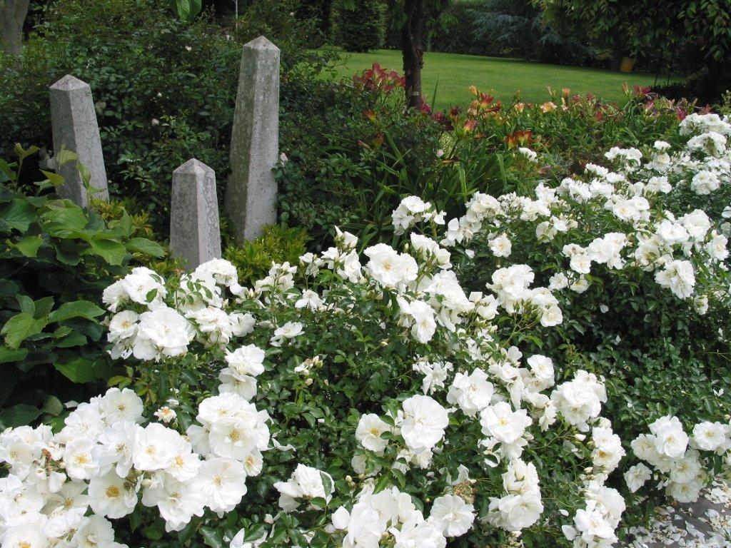 Flower Carpet White Groundcover Rose Monrovia Flower Carpet