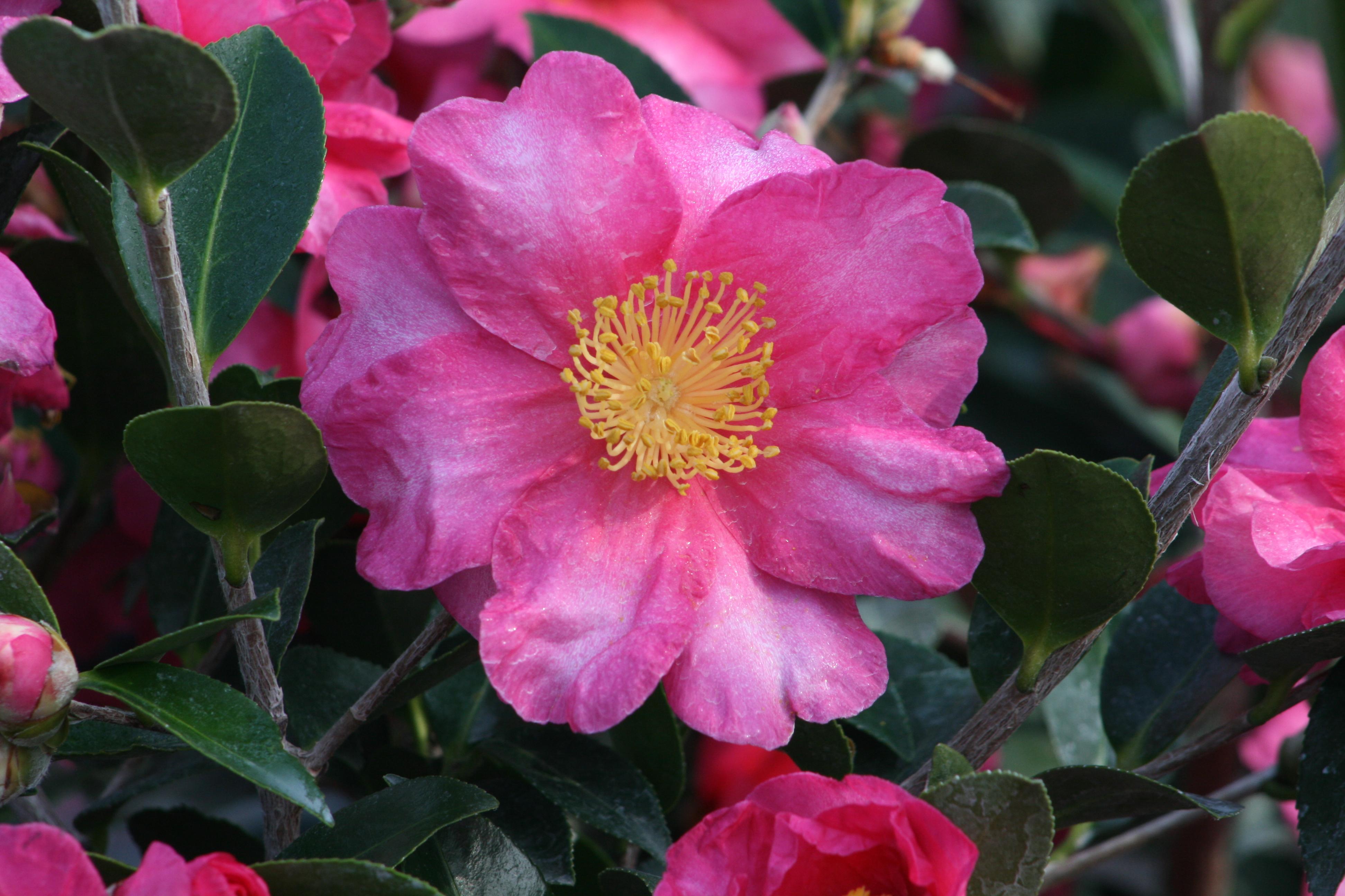 Shishi Gashira Camellia Monrovia