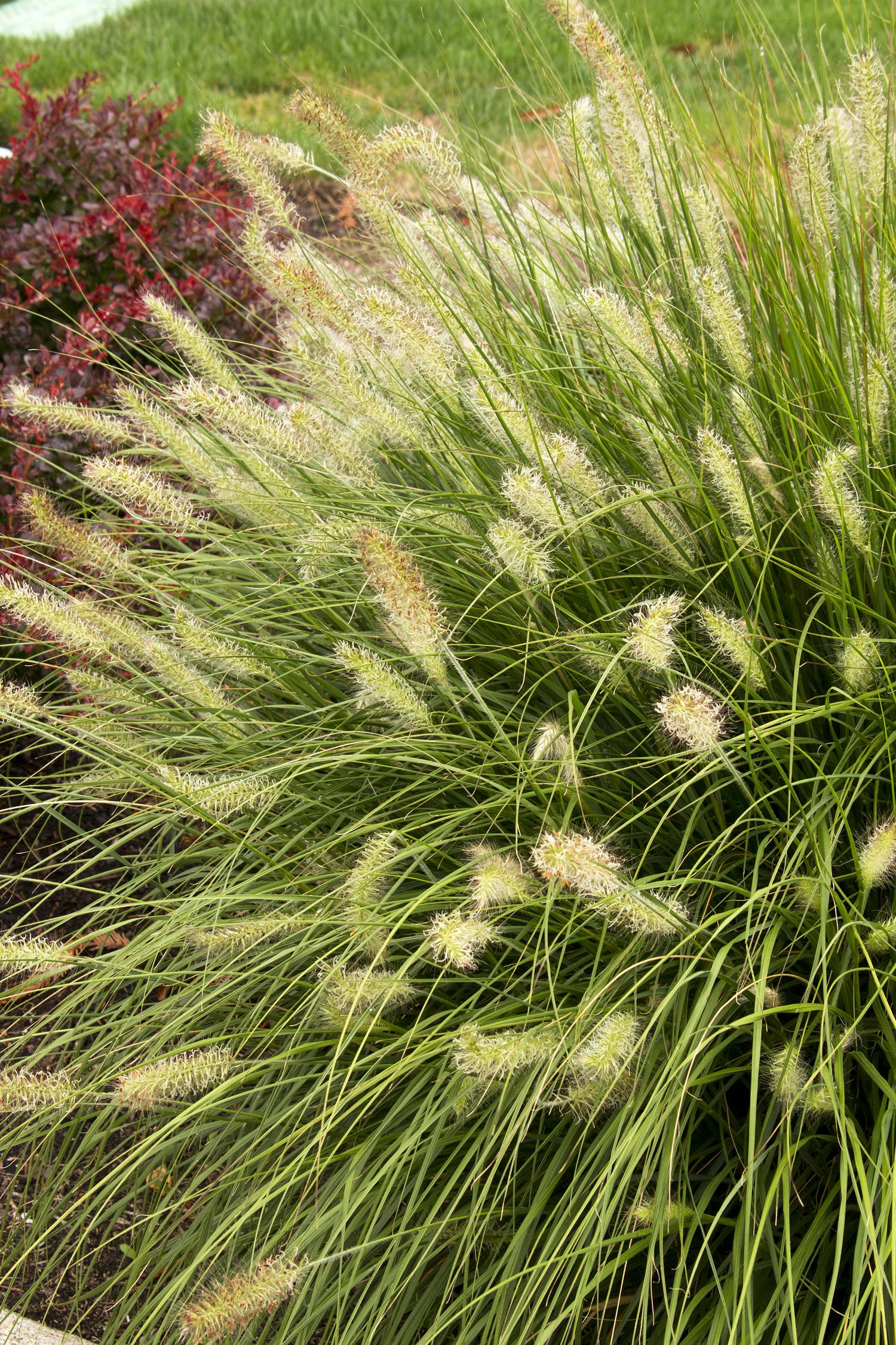 Dwarf Fountain Grass Monrovia Dwarf Fountain Grass